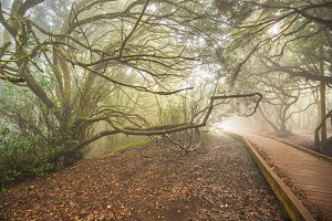 Misty forest in Anaga mountains.