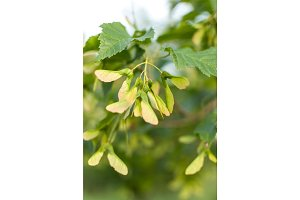 Green maple tree foliage leaves under overcast day. selective focus macro shot with shallow DOF