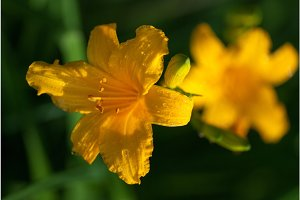 Bright yellow lily flowers with dew water drops under the bright spring sun. selective focus macro shot with shallow DOF