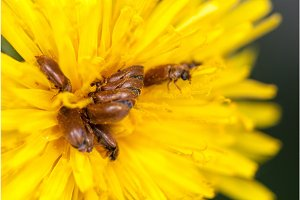 many brown bugs have sex on yellow dandelion selective focus macro shot with shallow DOF
