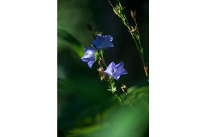 Blue bellflowers. They are wonderful spring and summer flowers. Magic natural jingles growth in green forest. Selective focus macro shot