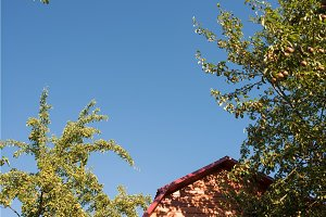 ripe pears hanging on a tree branch on the background of the house roof and deep blue sky