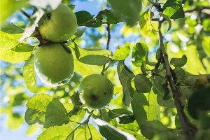 green apple on branch against blue sky