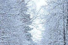 frosty winter forest
