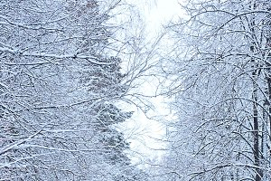 frosty winter forest