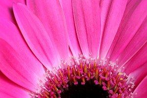 Bright Pink Gerber Daisy