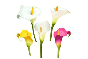 Collection of coloured arum lilies on white. Zantedeschia, calla lily