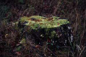 Tree stump in Autumn with Rock Moss