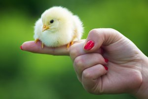 The little chick in hands