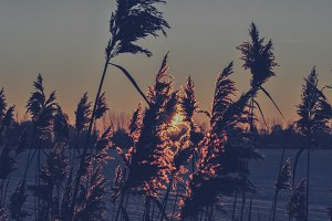 Reed Grass #03 (Vintage Series)