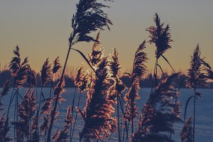Reed Grass #02 (Vintage Series)