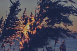 Reed Grass #04 (Vintage Series)