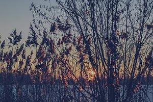 Reed Grass #07 (Vintage Series)