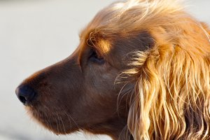 English cocker spaniel female,