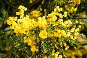 Splendid mimosa on branch