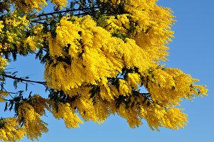 Natural mimosa on branch