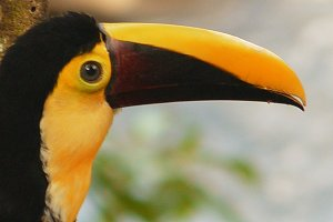 Toucan with orange beak