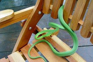 Green dwarf snake
