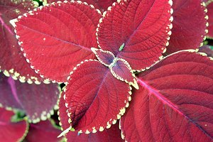 Tropical Red Leaves