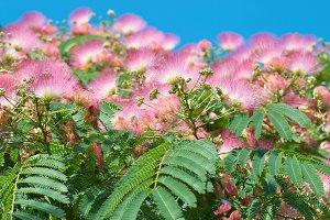 Flowers of acacia tree