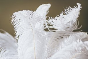 Big white feathers. Close-up.