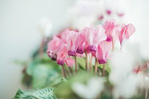 Pink Cyclamens with green leafs