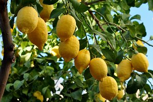 yellow lemons on the branch