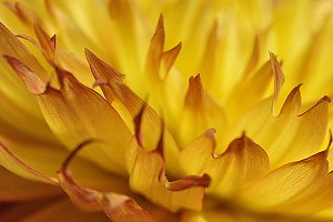 yellow/orange dahlia