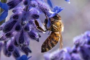 Bee on lavender sprig