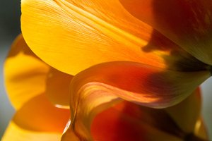 macro of orange tulip