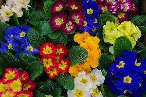 many colorful primulas filling the entire picture
