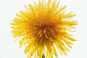 Unusual close up view from above of vivid yellow dandelion flower that looks like the Sun with beams on light background, summer theme