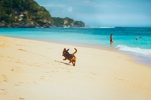 Dog having fun with waves at the beach of Bali island. Exotic landscape with scenic view of sea shore at sunny summer day in Indonesia.