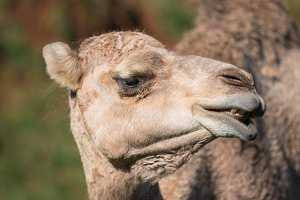 Close up portrait of a Camel