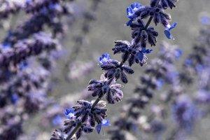 macro of lavender sprigs