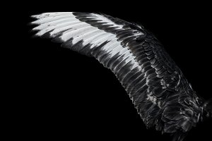 Wing of young black swan