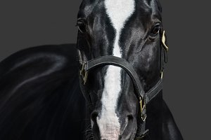 Black horse with heart mark