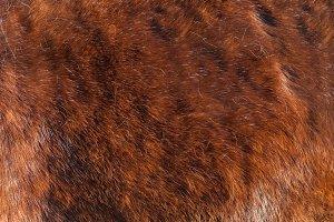 Winter red coat of horse