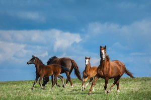 Herd of horses walks in field