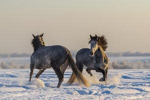 Dancing Spanish horses.