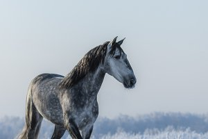 Andalusian gray stallion