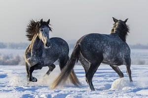 Two Spanish gray stallions playing