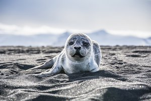 Baby Seal on a Beach in Iceland