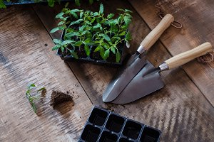 Tomato seedling in plastic tray