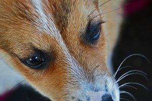 Lundehund puppy