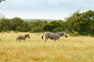 Zebra Baby - Africa 3