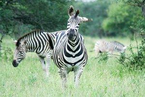 Zebra Family - Africa 2