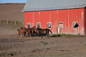 Red Barn with Horses - Barns 2