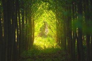 Path through tree tunnel at sunset