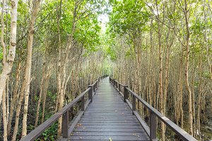 Wood bridge in mangrove forest